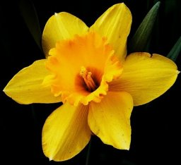 O lugar escuro da minha amada é uma flor de narciso